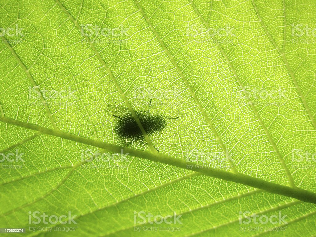 green beech leaf, makro,  with shadow of a fly royalty-free stock photo