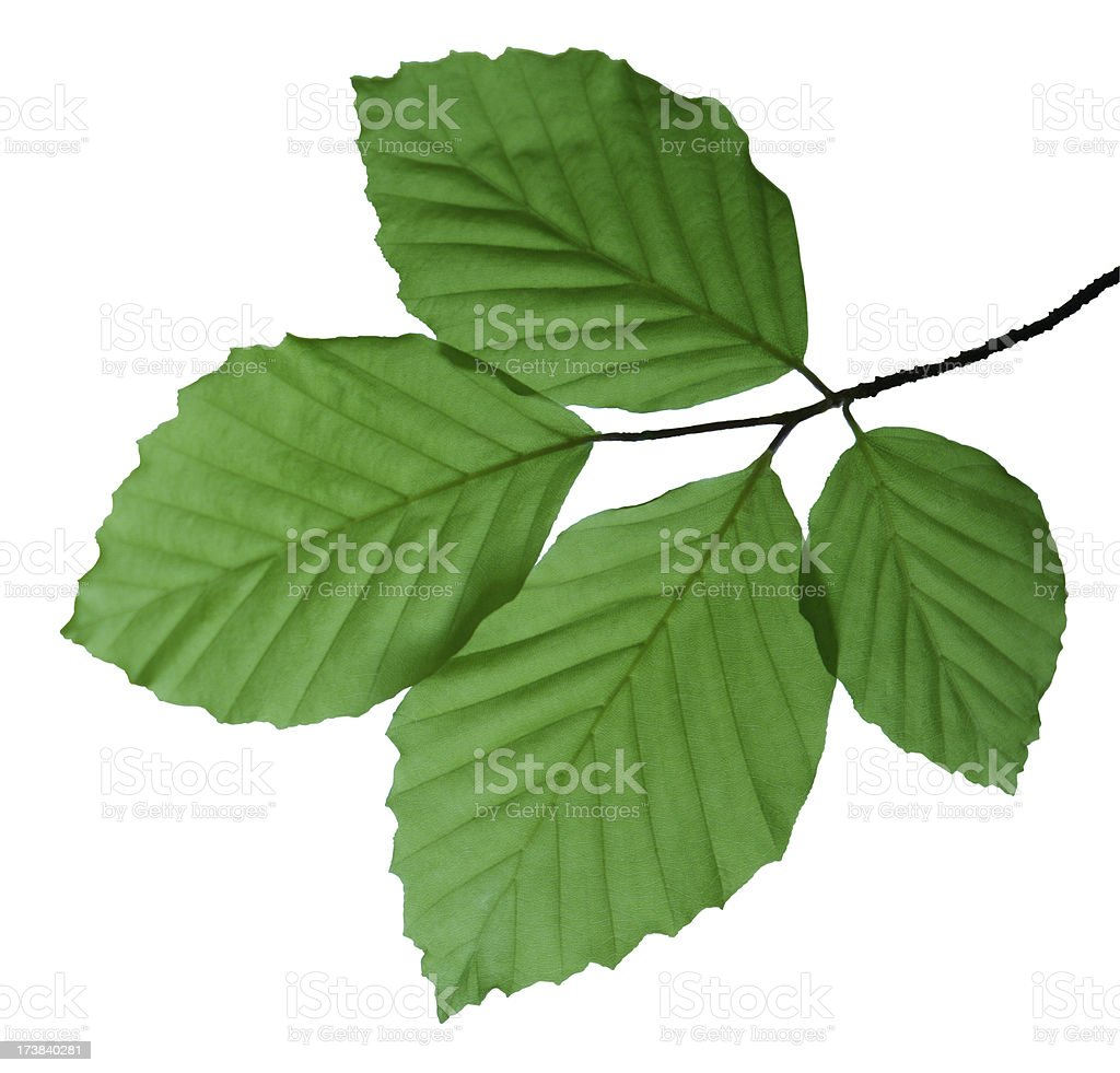 green Beech Leaves isolated on white royalty-free stock photo