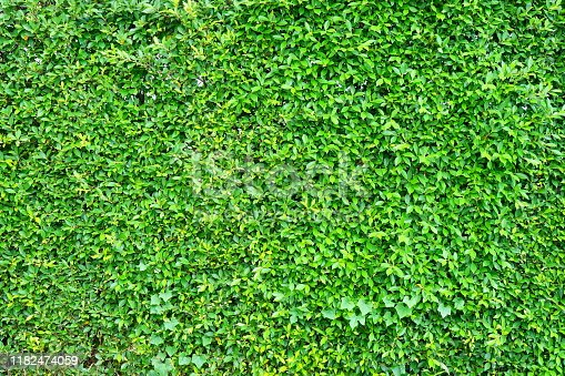 Thailand, Surrounding Wall, Hedge, Green Color, Backgrounds