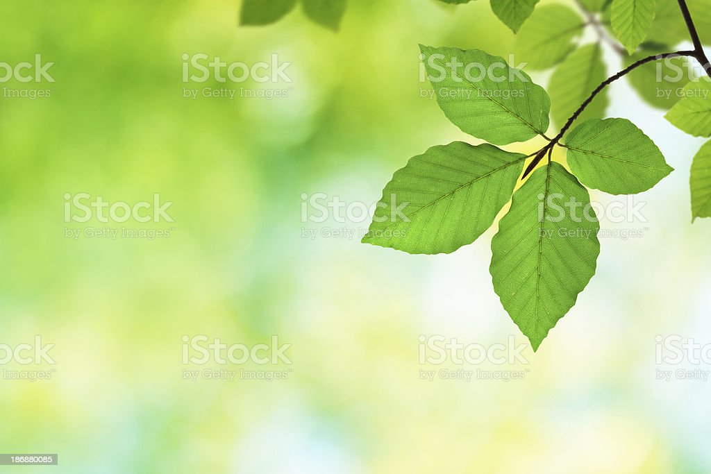 Green Beech Leaves XXXL royalty-free stock photo