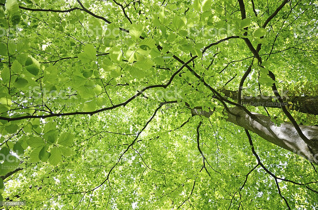 Green beech tree leaf canopy in spring stock photo