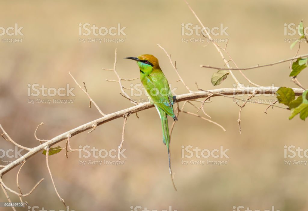 Green bee-eater perching on tree branch at Chorakhe Mak Reservoir , Buriram Province , Thailand stock photo