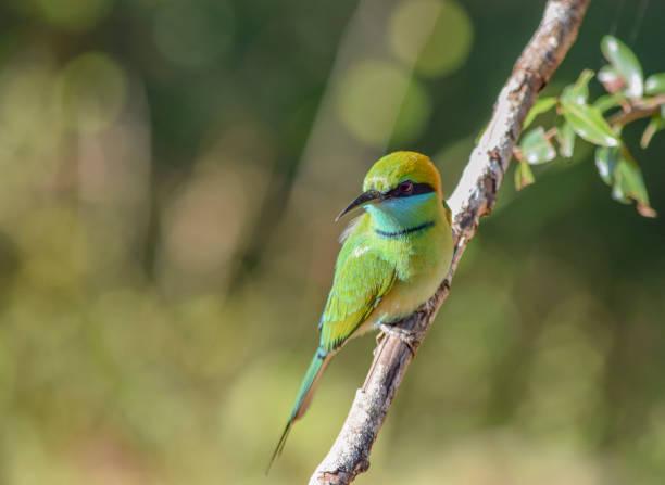 Green bee-eater stock photo