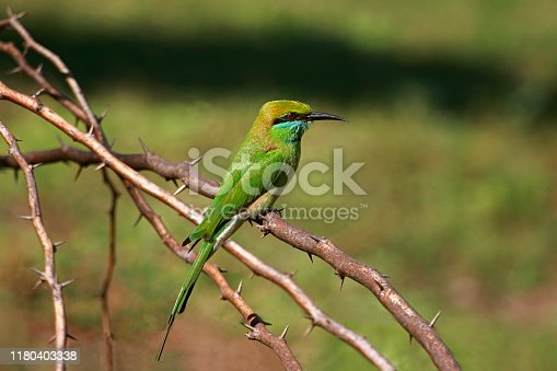 Green Bee-eater (Merops orientalis), Place - Uran, near Mumbai, Maharashtra, India. One of the most common birds seen through-out India. Also called as