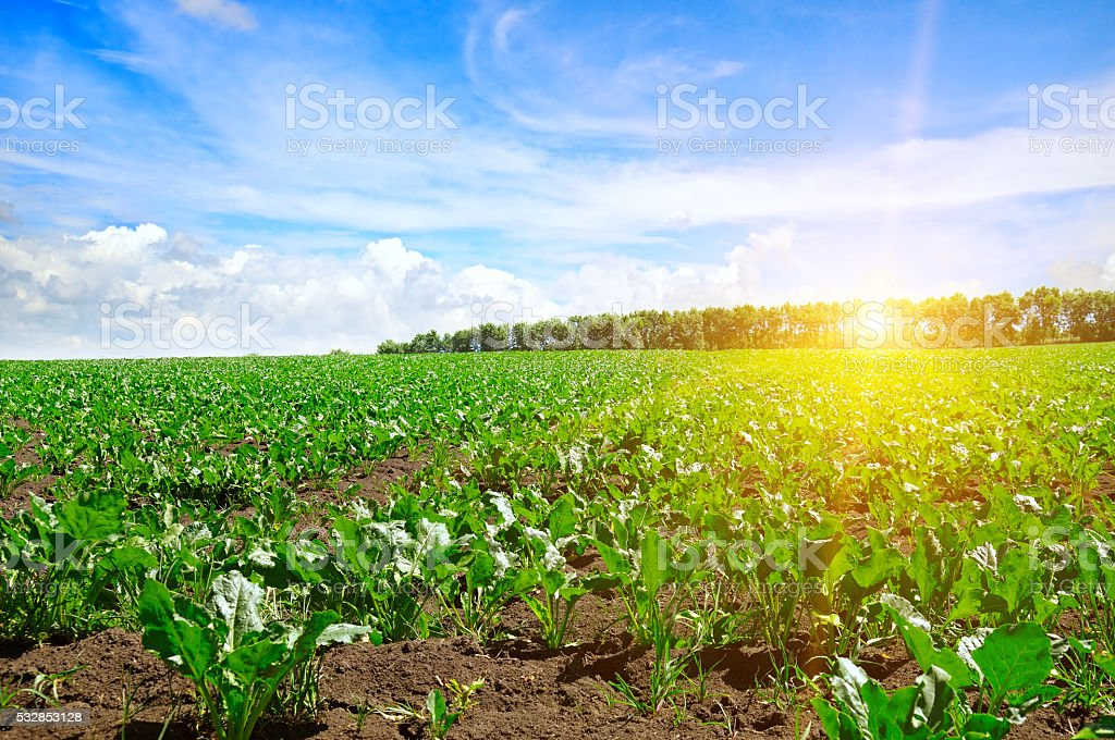 green beet field and  sky stock photo