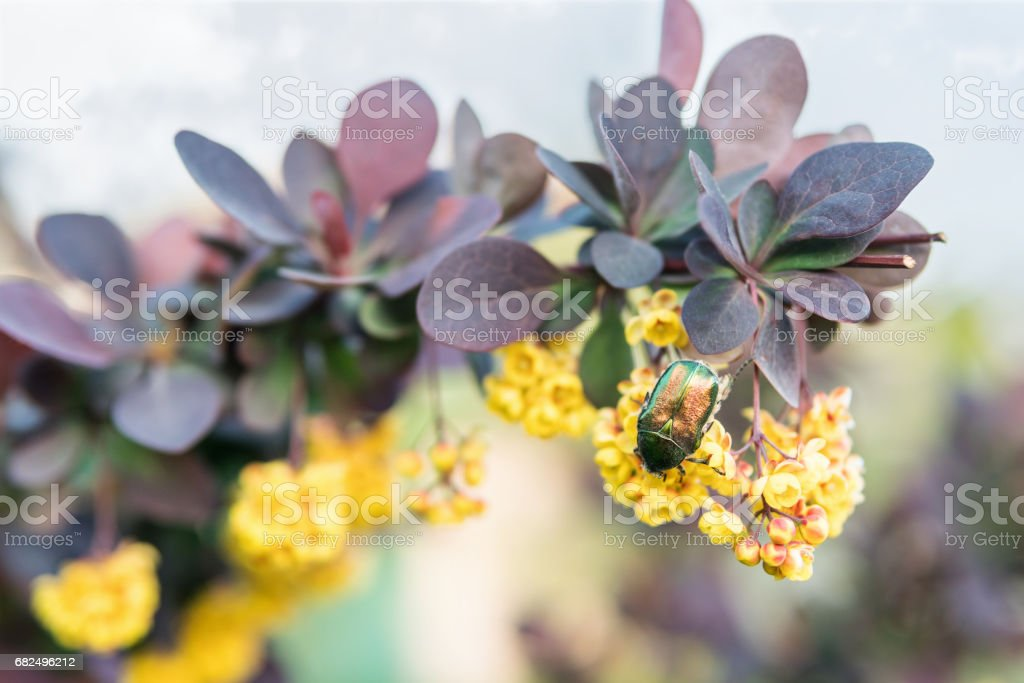 Green beetle bronze on barberry royalty-free stock photo