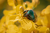 A green beetle on yellow rapeseed flower