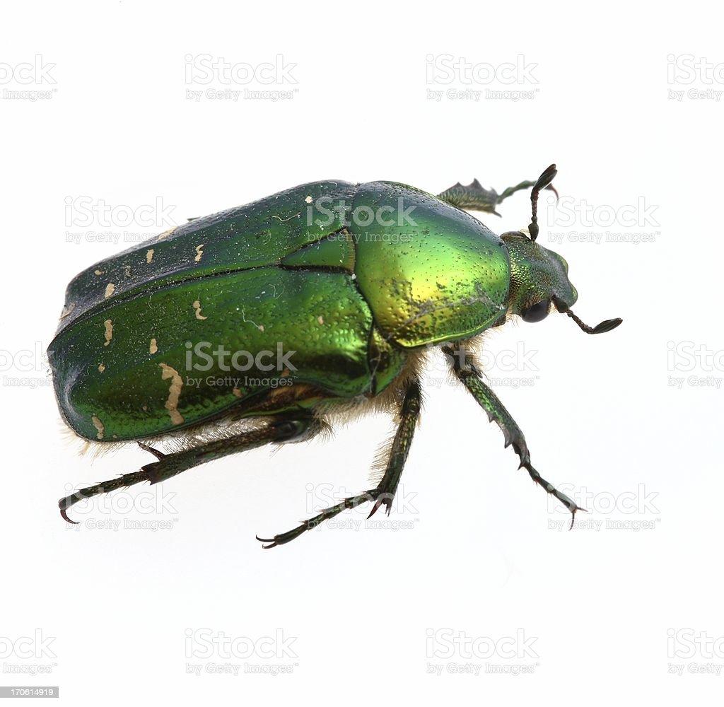 Green Beetle royalty-free stock photo