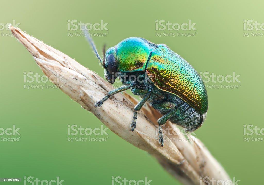 Green beetle ryptocephalus sericeus in nature stock photo