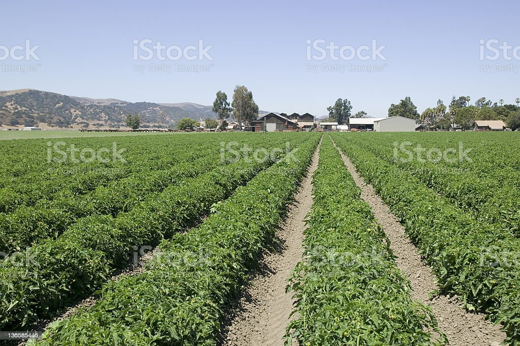 Green Bell Pepper Farm royalty-free stock photo