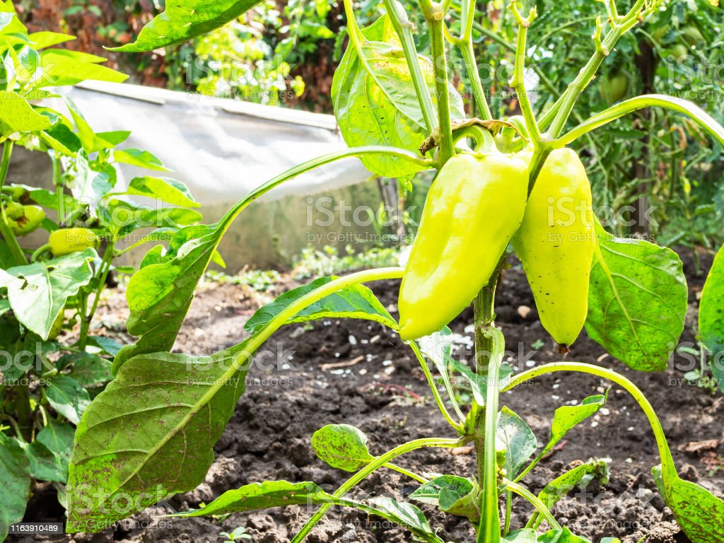 green bell peppers on bush close-up in kitchen garden in summer