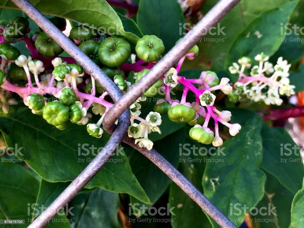 green berries on a wild vine growing on a fence stock photo