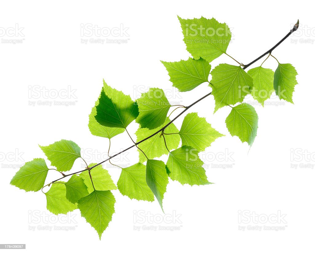 Green birch leaves isolated stock photo