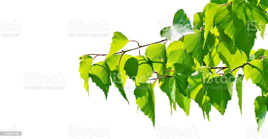 Green birch tree leaves on a white background. stock photo