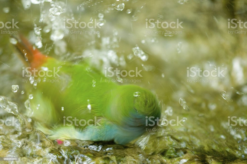 Green bird taking bath royalty-free stock photo