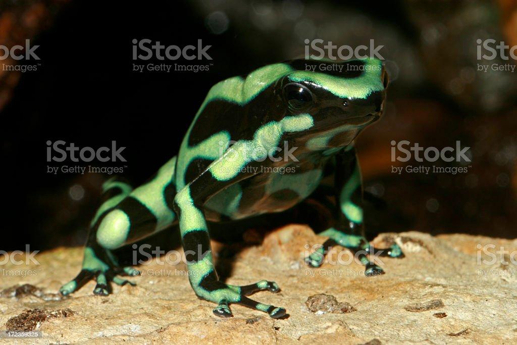 Green & Black Poison Dart Frog royalty-free stock photo
