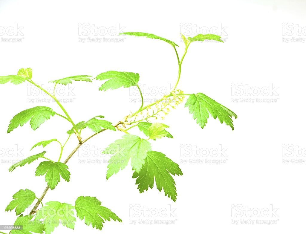 Green blackcurrant leaves royalty-free stock photo