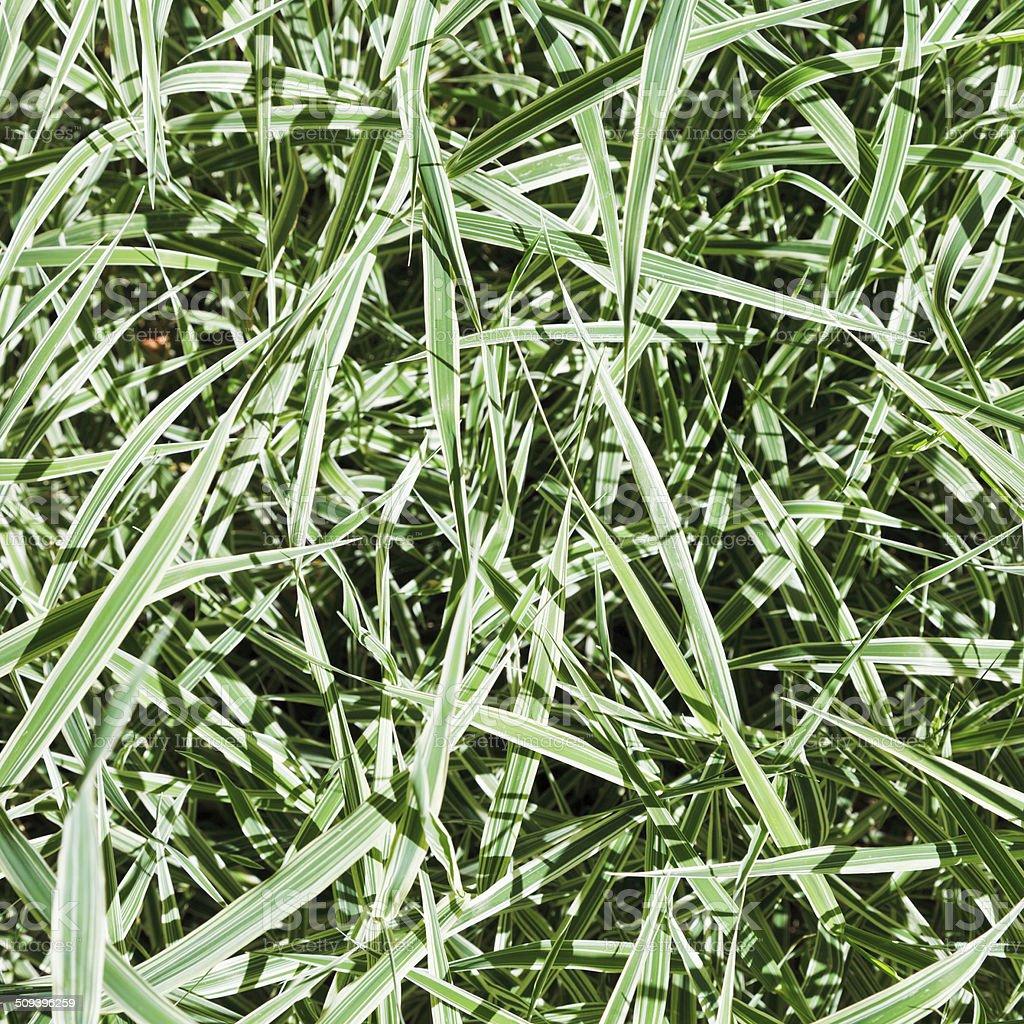 green blades of Carex morrowii Variegata stock photo