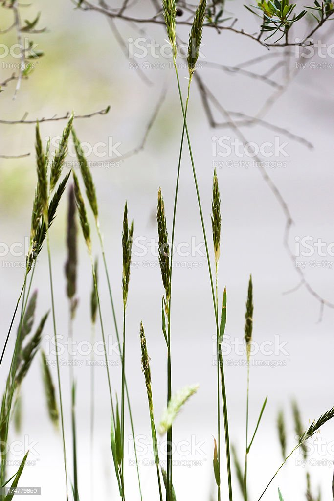 Green blades of wild grass against grey background royalty-free stock photo
