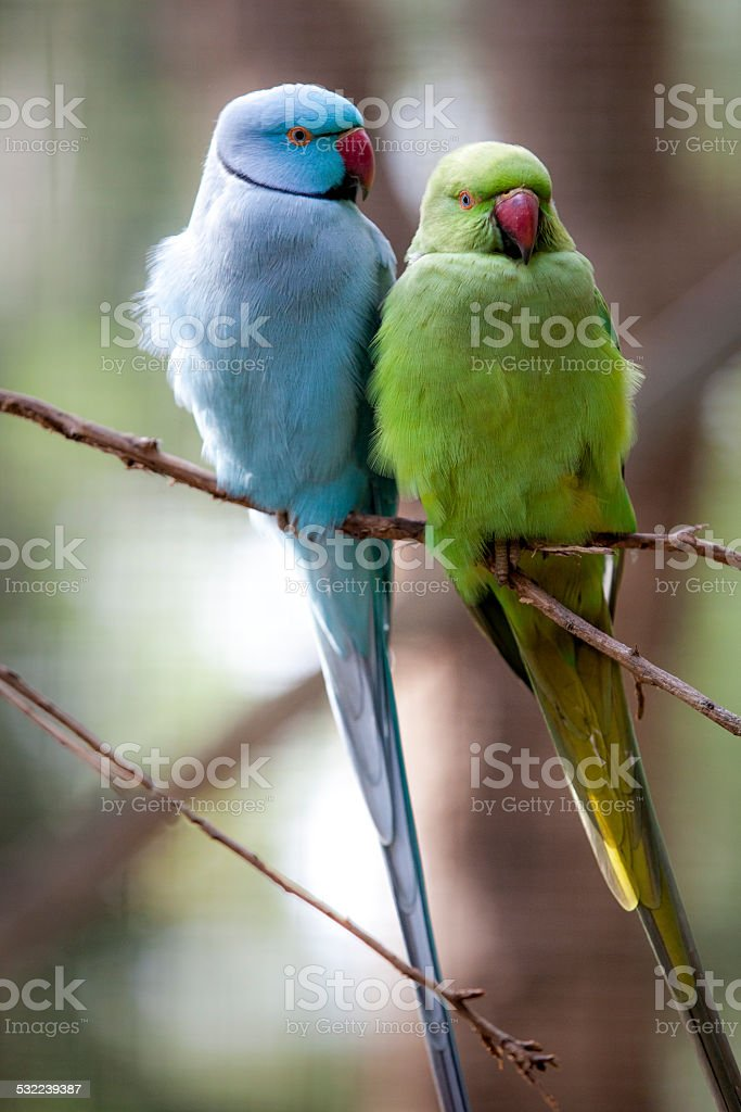 Green Blue Indian Ringneck Parrot Stock Photo Download Image Now