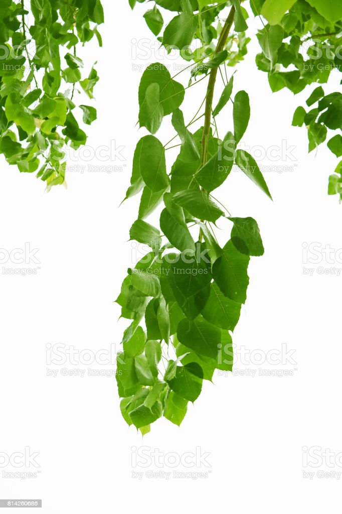Green bo leaves isolated on white background. stock photo