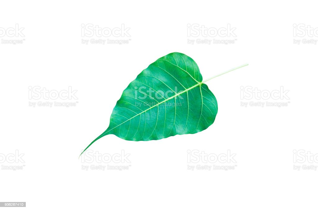 Green Bo leaves, leaves that are important in Buddhism isolate on white stock photo
