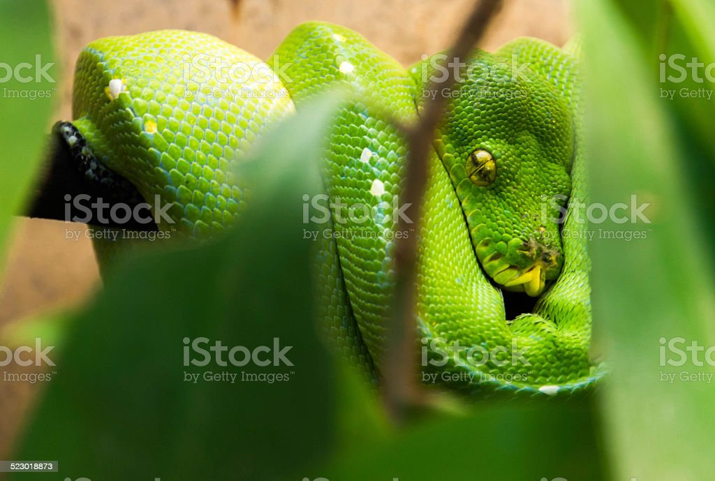 Green boa on a branch stock photo