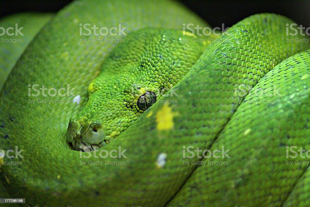 Green Boa Snake (Corallus caninus) stock photo