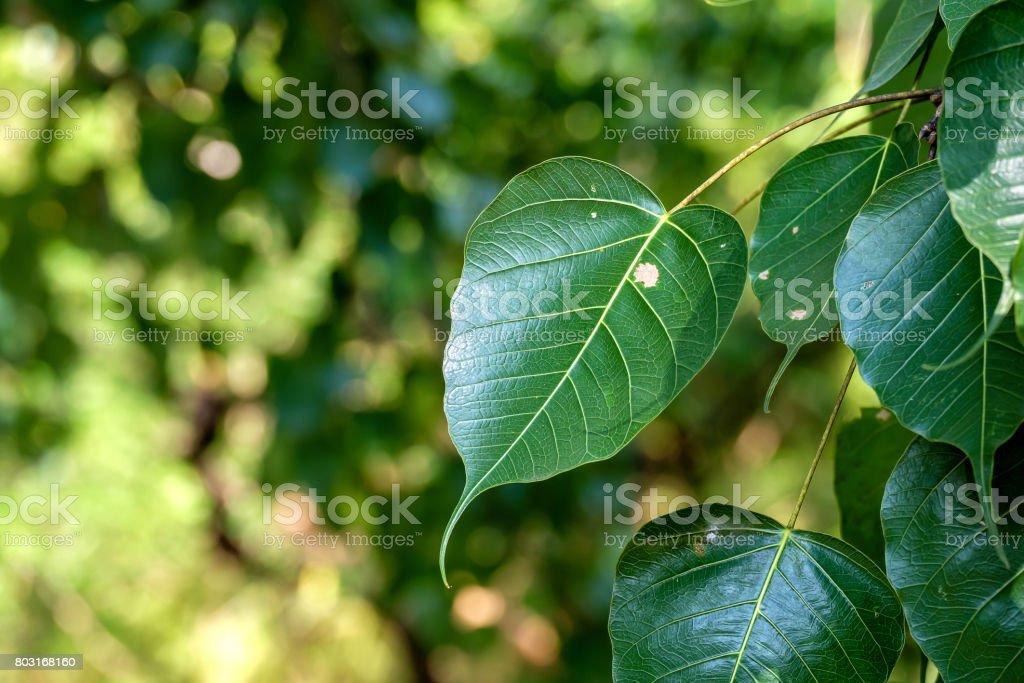 Green Bodhi leaf. stock photo