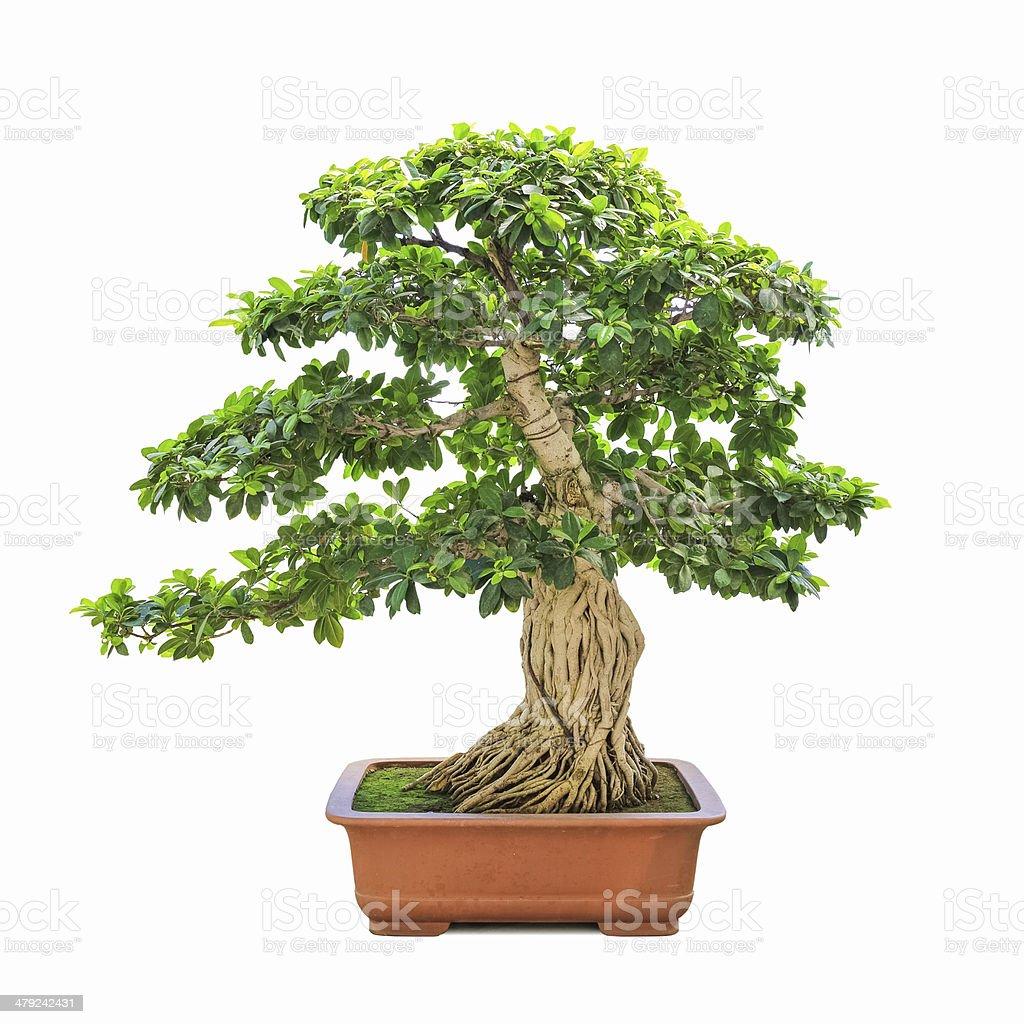 green bonsai banyan tree stock photo