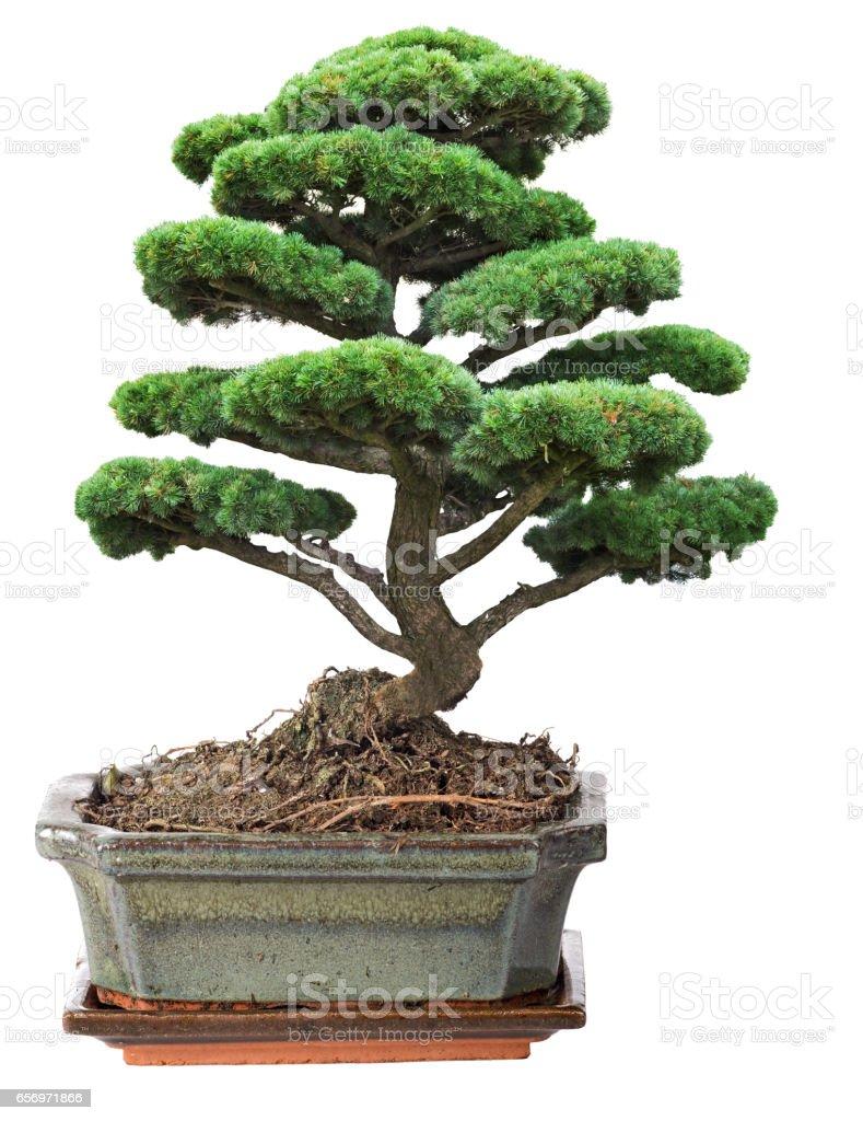 green bonsai pine tree in pot – Foto