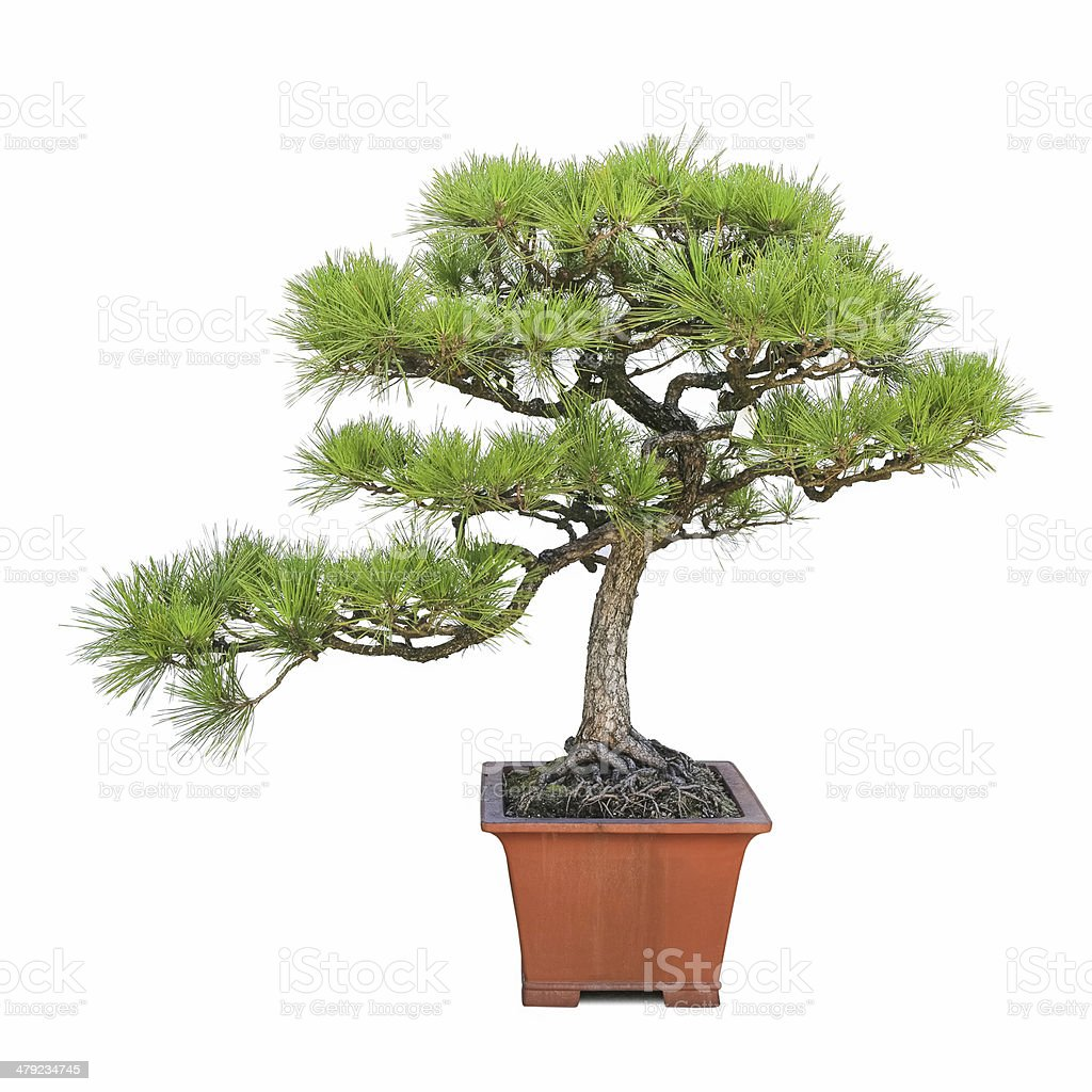 green bonsai-Kiefer – Foto
