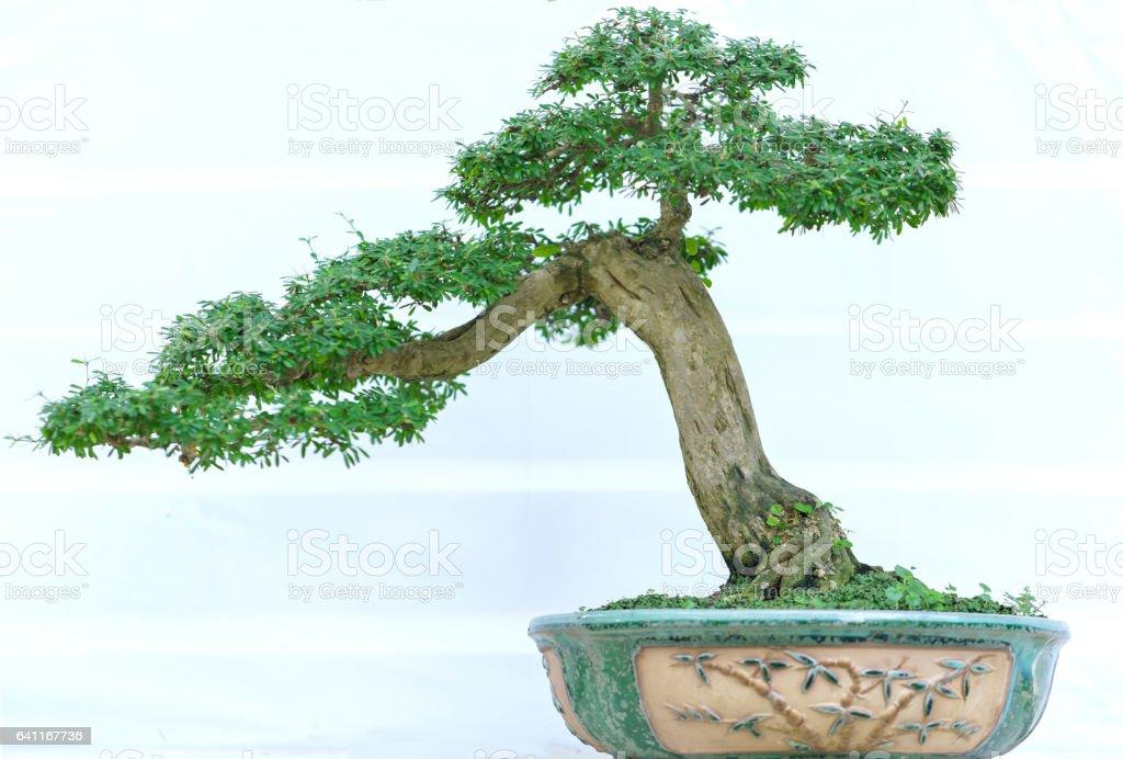Grüne Bonsai-Baum in eine Topfpflanze – Foto