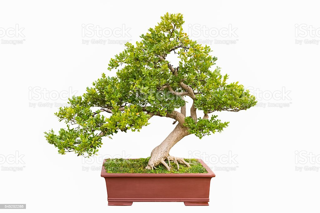 green bonsai tree of chinese littleleaf box - foto stock