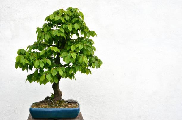 Árbol Bonsai verde plantado en un tazón azul sobre fondo blanco - foto de stock