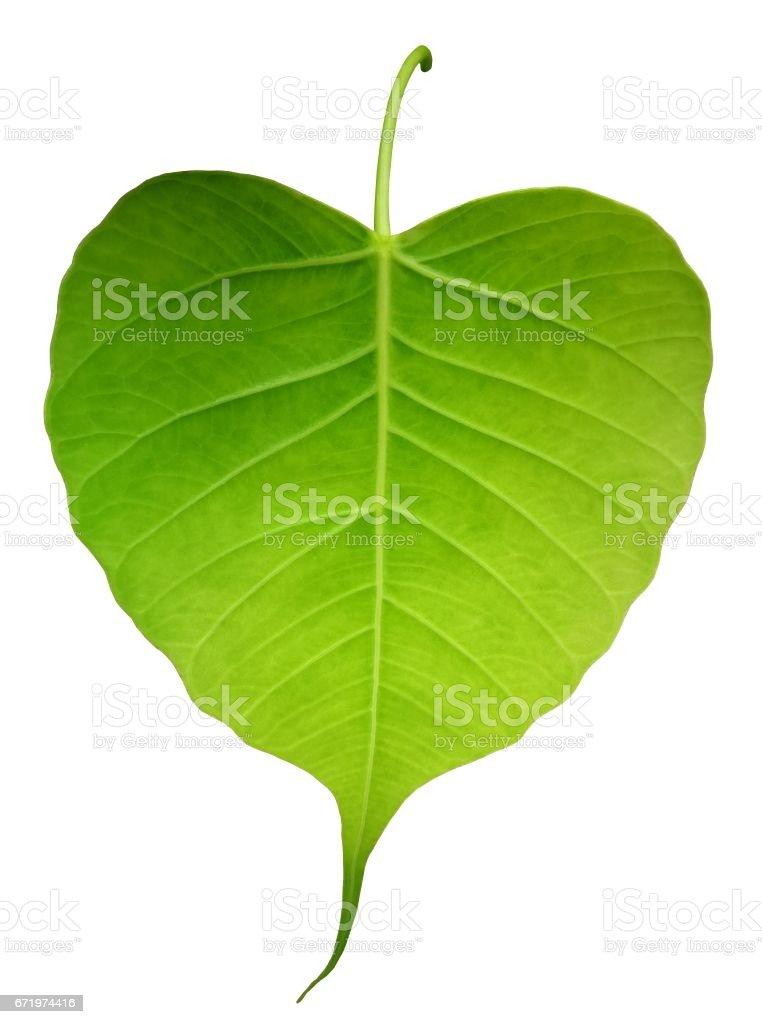 Green bothi leaf (Pho leaf, bo leaf) isolated on white background. stock photo