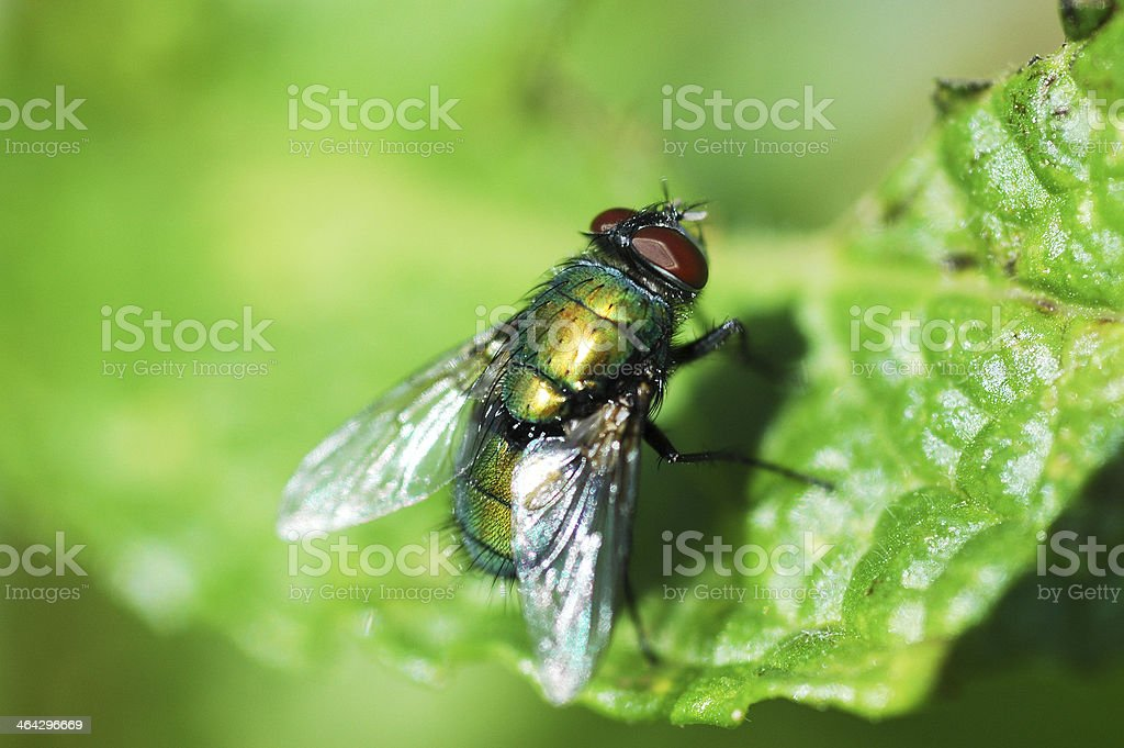 green bottle fly, Lucilia sericata, close up stock photo