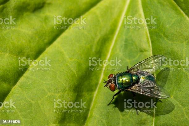 Green bottle fly picture id984344526?b=1&k=6&m=984344526&s=612x612&h=shemkqqw9fpwof  9pywx237f6aufgbb5d3endbglao=