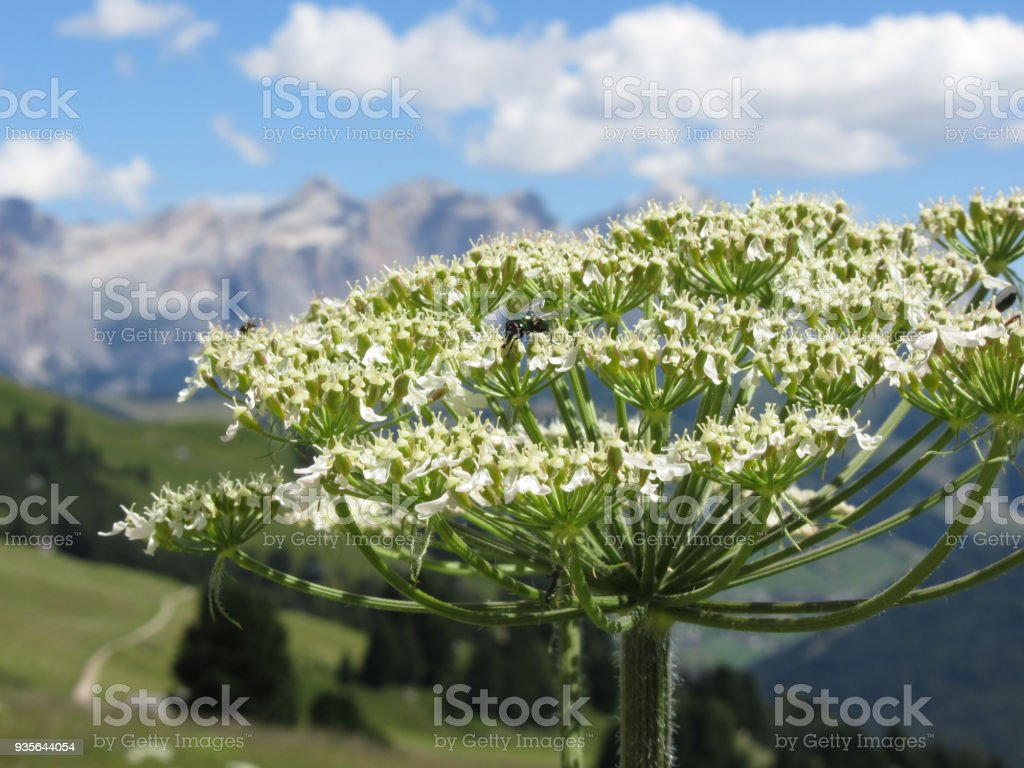 Green bottle or Greenbottle fly (Lucilia species) feeds on nectar on a Hogweed (Heracleum sphondylium) flower . Valgardena, South Tyrol , Bolzano , Italy stock photo