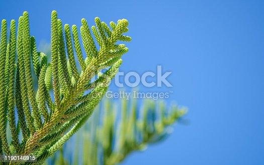 1145102719 istock photo Green Branch of Araucaria heterophylla tree on blue sky background 1190146915