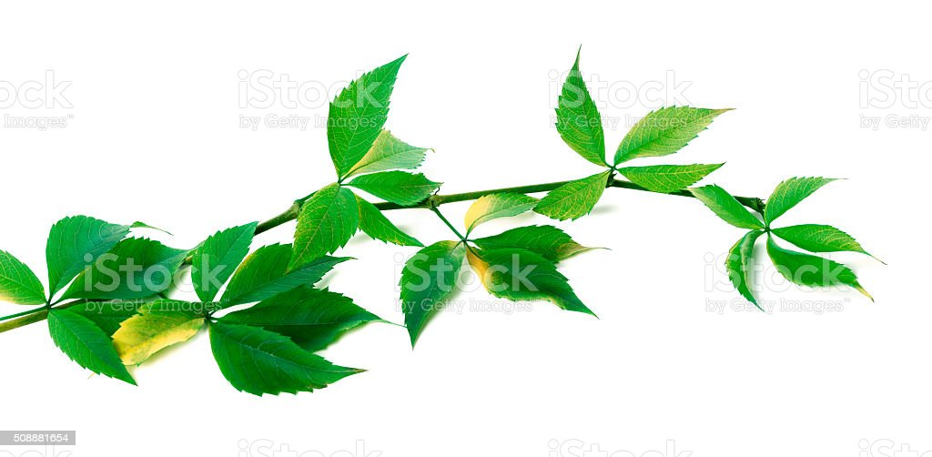 Green branch of grapes leaves (Parthenocissus quinquefolia folia stock photo