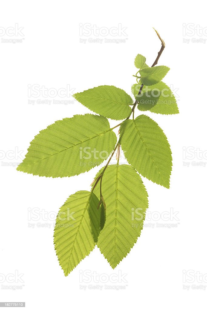Green Branch - Spring Leaves stock photo