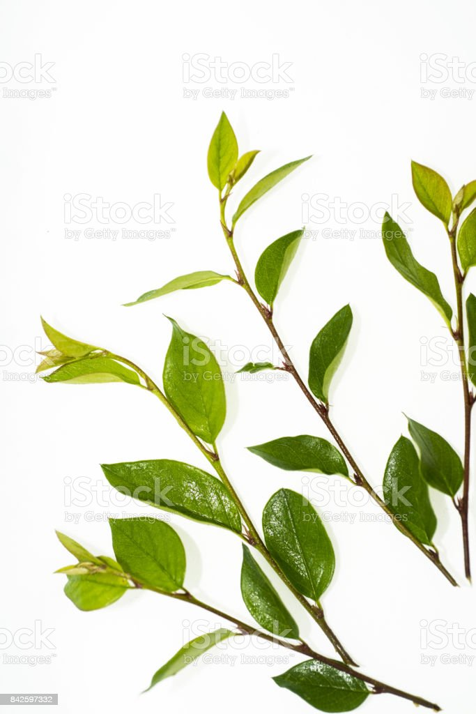 Green branch with leaves. stock photo