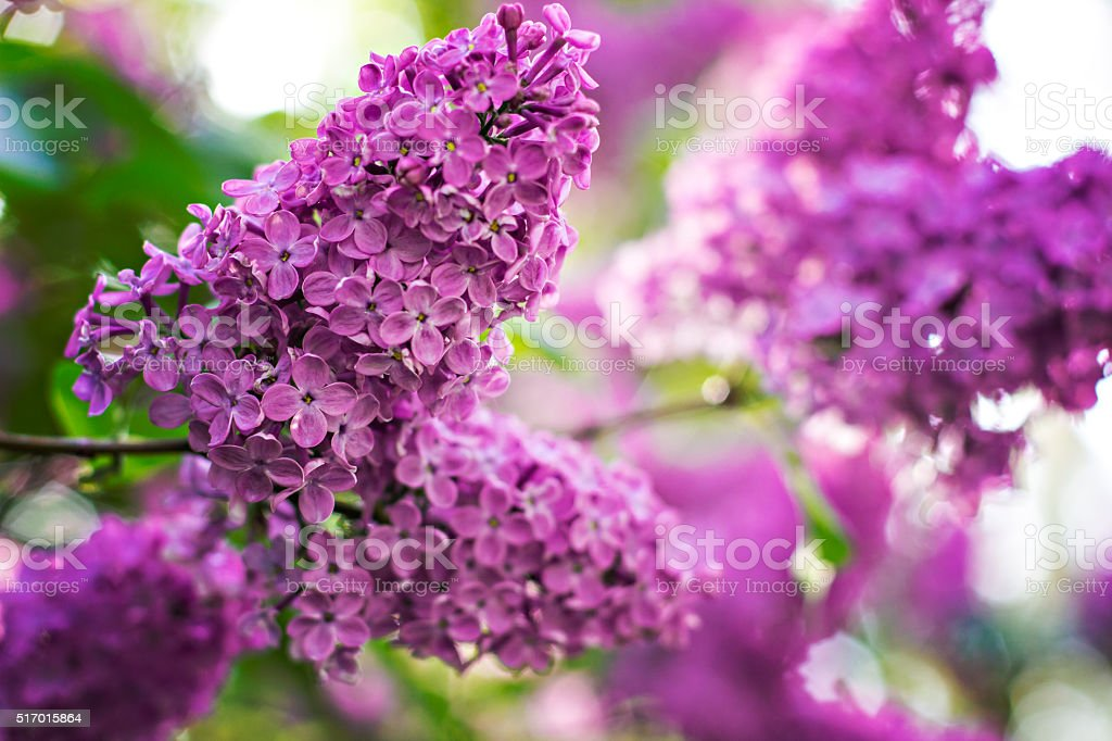 Green branch with spring lilac flowers stock photo