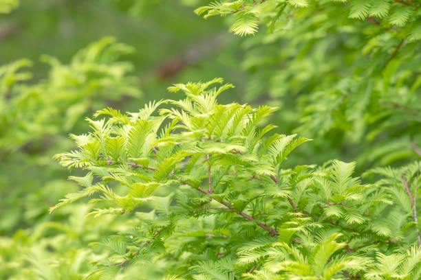 Green branches and leaves of the Gold Rush, Dawn Redwood,  Metasequoia glyptostroboides stock photo
