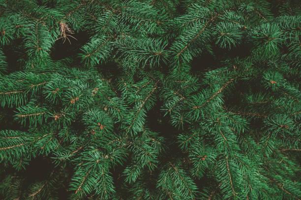 yeşil dallar köknar veya çam ağacının. noel arka plan. - christmas tree stok fotoğraflar ve resimler