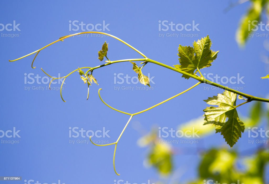 green branches of grapes against the blue sky stock photo