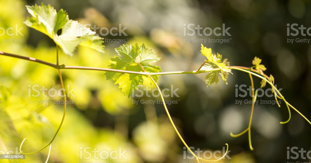 green branches of grapes in the nature stock photo