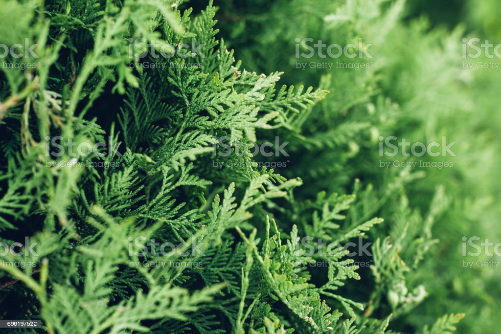 Green branches of juniper. Natural background stock photo