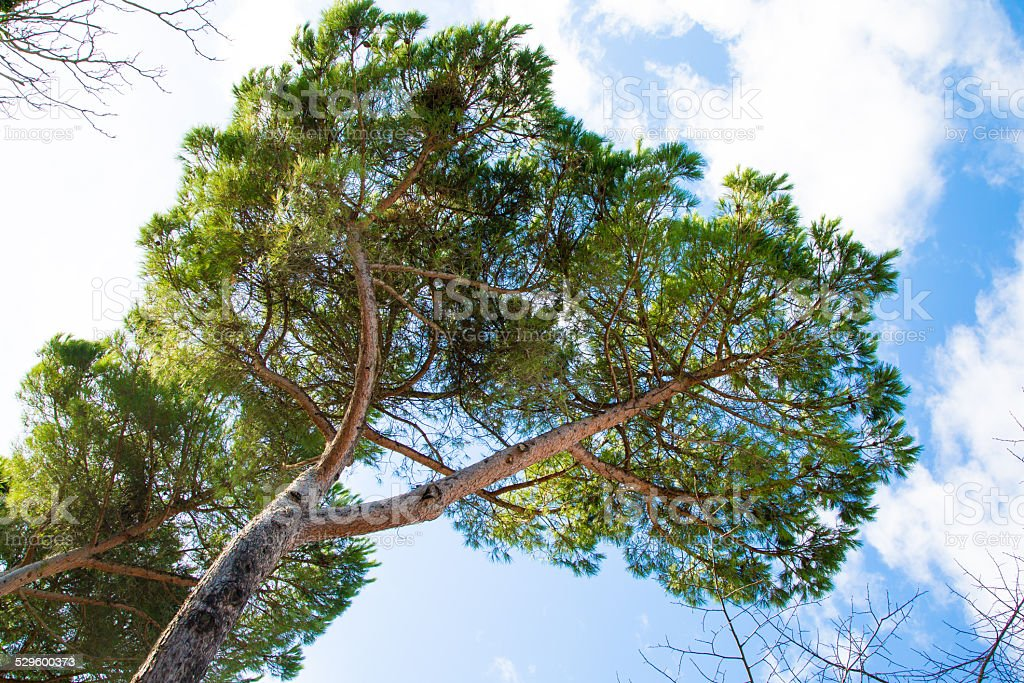 Green branches of pine against the blue sky stock photo
